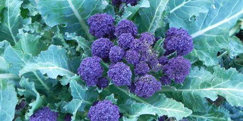 purple-sprouring-broccoli-image.jpg